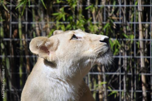 Photo  Fully grown female white lion