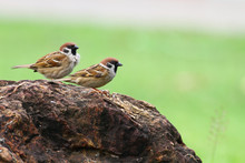 Two Sparrow Stand On The Rock