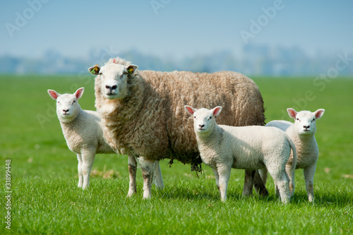 Tuinposter Schapen Mother sheep and her lambs in spring