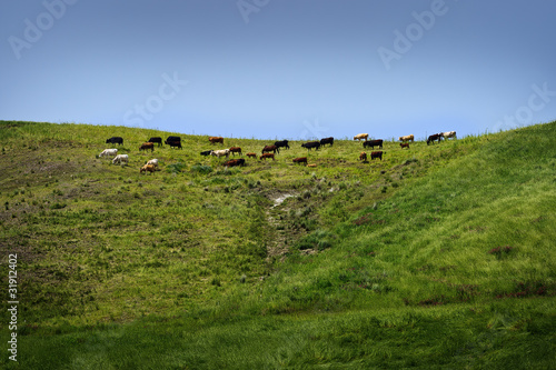Poster Hill Cows on pasture