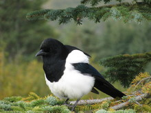 A Puffed Up Black Billed Magpie Sitting On A Spruce Limb