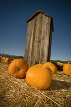 Pumpkins Against Shack