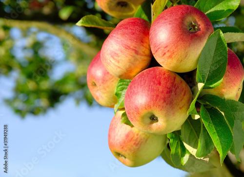 Fotografie, Obraz  Erntereife farbenfrohe Äpfel am Ast