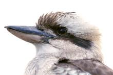 Bird, Kookaburra, A Terrestria...