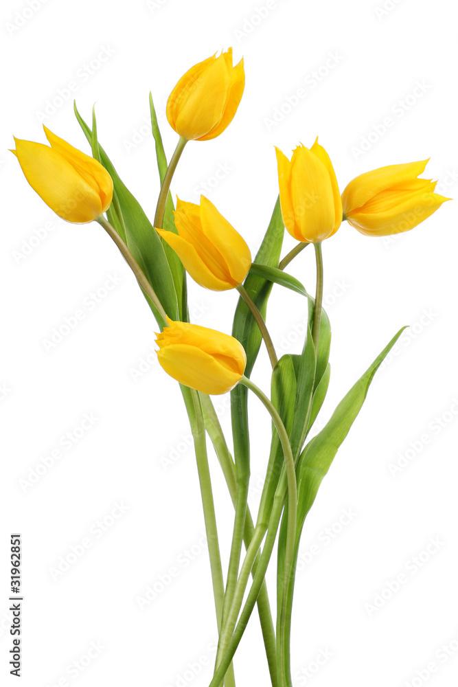 Fototapety, obrazy: Yellow tulips on white background