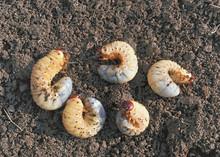 Larvae.Thick Nasty Maggots.