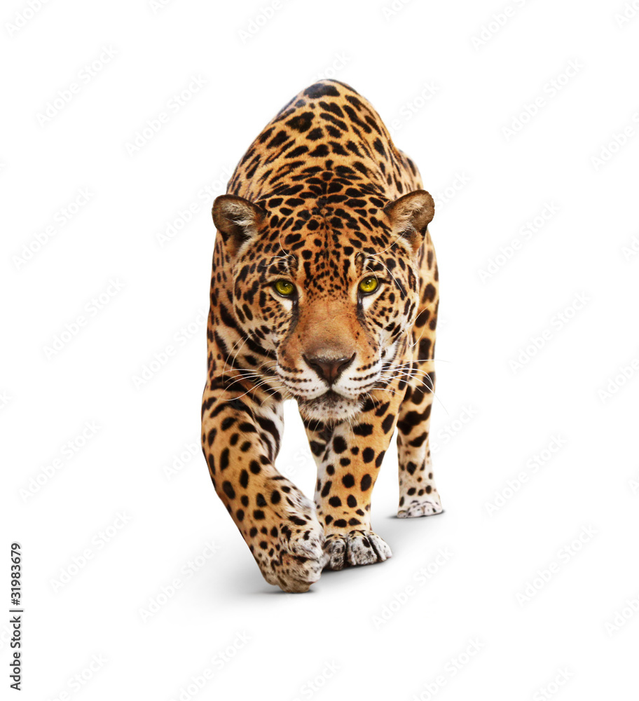 Fototapeta Jaguar - animal front view, isolated on white, shadow