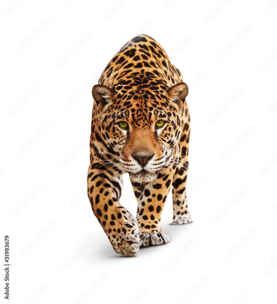 Fototapeta Jaguar - animal front view, isolated on white, shadow