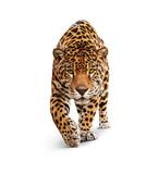 Fototapeta Zwierzęta - Jaguar - animal front view, isolated on white, shadow