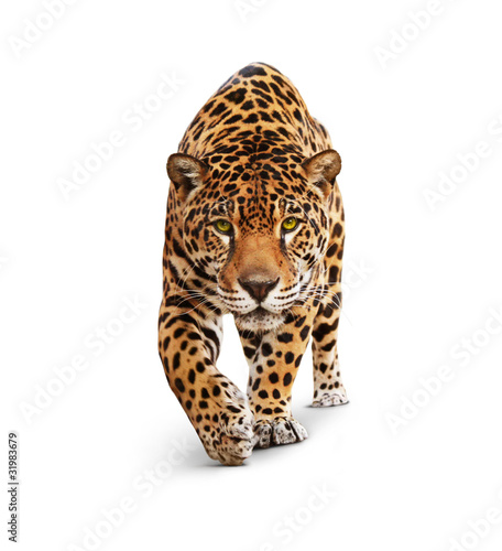 Obraz na plátne Jaguar - animal front view, isolated on white, shadow