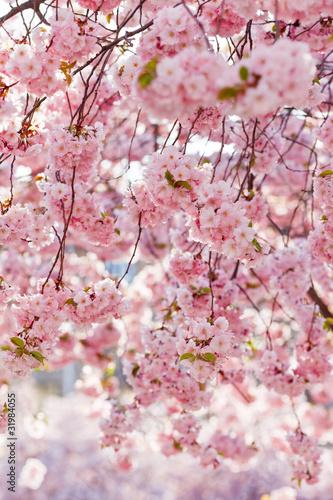 Fototapeta wiosna wisniowe-drzewo