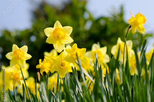 Ingelijste posters Narcis yellow Daffodils in the garden