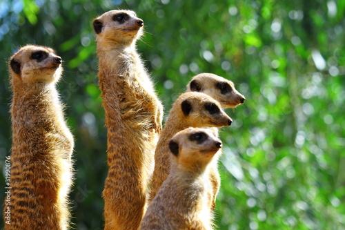 Meerkats watching Wallpaper Mural