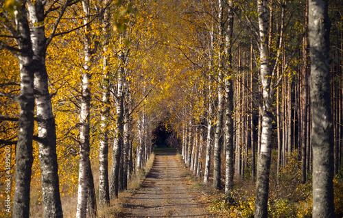 Foto op Plexiglas Berkbosje Avenue in autumn