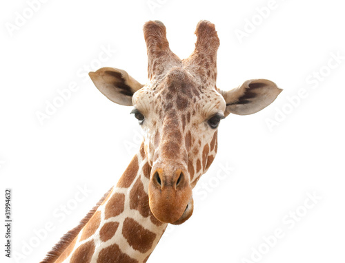 giraffe isolated on white background Canvas Print