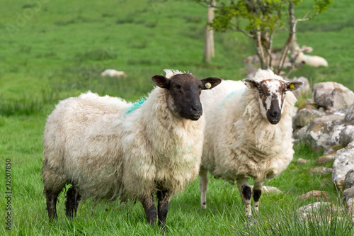 Tuinposter Schapen Couple of irish sheep on the meadow