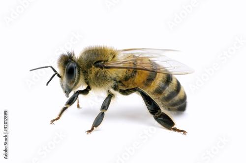 Photo Bee, Apis mellifera, European or Western honey bee, isolated on