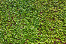 Background Of Lush Green Ivy Leaves On A Brick Wall
