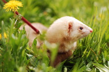 Cute White Ferret On A Leash I...