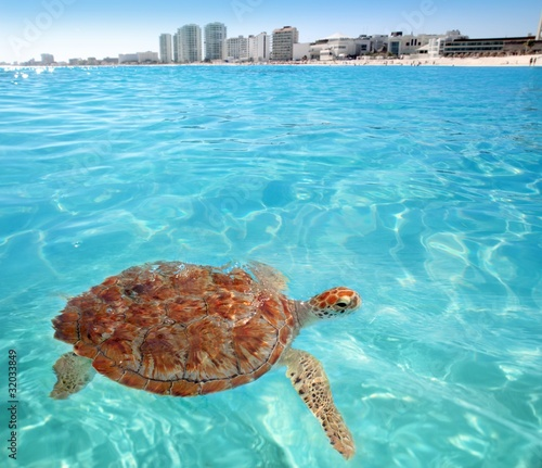 Photo Stands Turquoise Green sea Turtle Caribbean sea surface Cancun