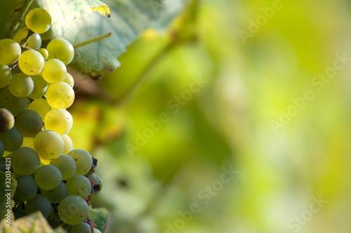 Fotografia, Obraz  White grapes