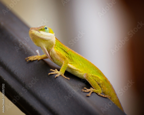 Photo Portrait of green Carolina anole lizard.