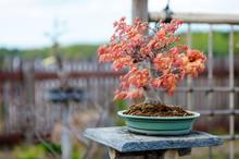 Red Bonsai Tree At A Japanese ...