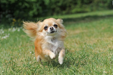 Course De  Chihuahua
