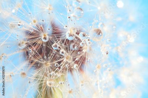 dandelion-z-kroplami-wody