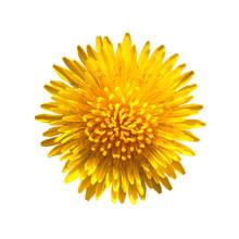 Yellow Flower Of Dandelion Iso...