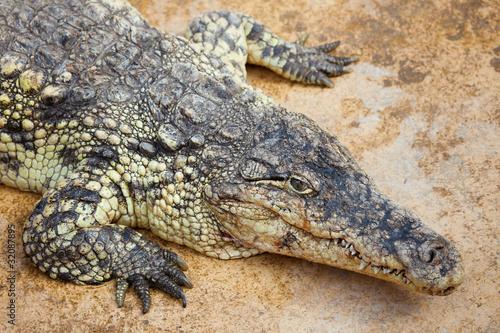 Foto op Plexiglas Krokodil Closeup of a crocodile