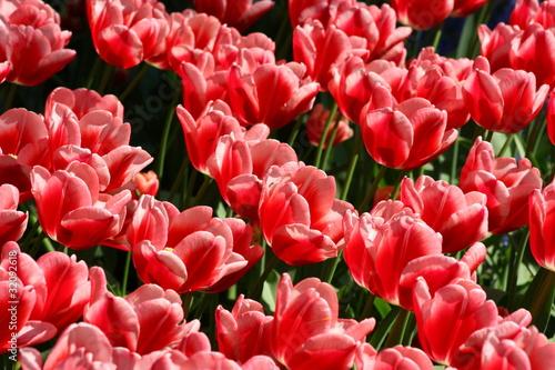 Papiers peints Azalea tulpenblüte