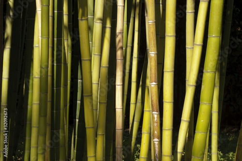 Papiers peints Bambou Giant Bamboo forest detail in the late afternoon sun