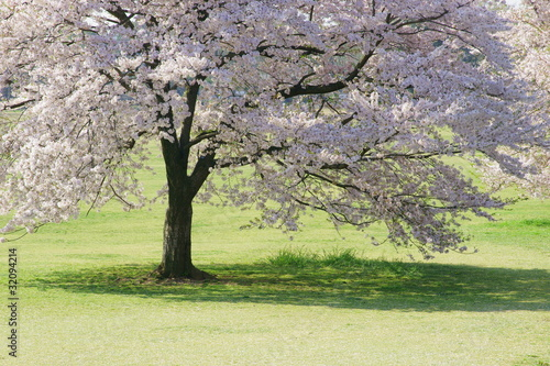 Fototapeta drzewa   wisnia-w-rozkwicie