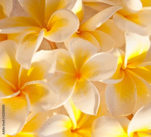Foto op Canvas Frangipani Tapis de fleurs de frangipanier