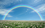 Fototapeta Tęcza - Potato field with sky and rainbow