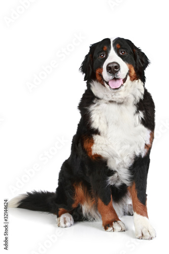 Bernese mountain dog on a white background Wallpaper Mural