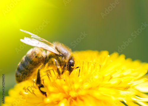 Spoed Foto op Canvas Bee Bee on dandelion