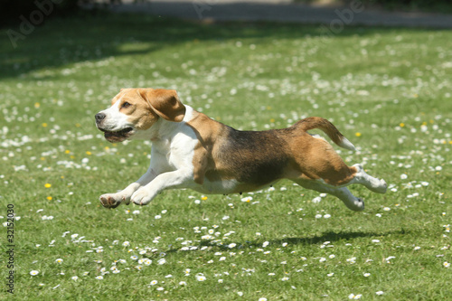 Foto  Beagles energisches Rennen