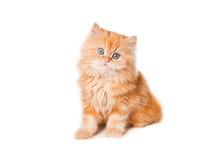 Red Persian Kitten On Isolated...