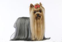 Yorkshire Terrier - York - Yor...