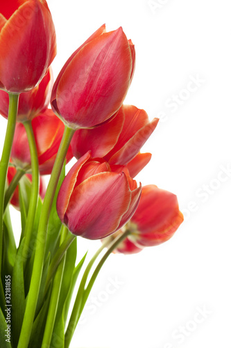 Papiers peints Tulip Fresh Beautiful Tulips / isolated on white / vertical with copy