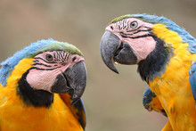 The Blue-and-yellow Macaw (Ara...