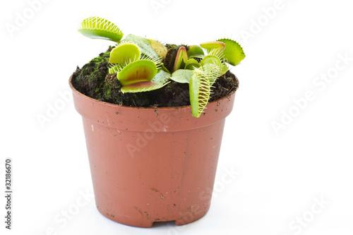Fotografía  Dionaea muscipula