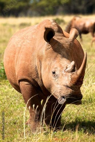 Fotografie, Obraz  Muddy Rhino