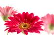 canvas print picture - Sommerblume Gerberablüte