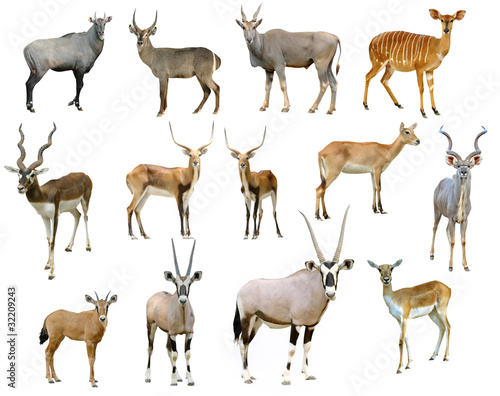 Fotobehang Antilope antelope collection isolated