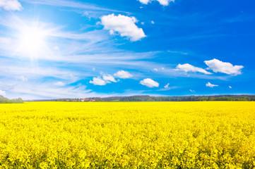 Fototapeta Rapsfeld bei sonnigem Wetter