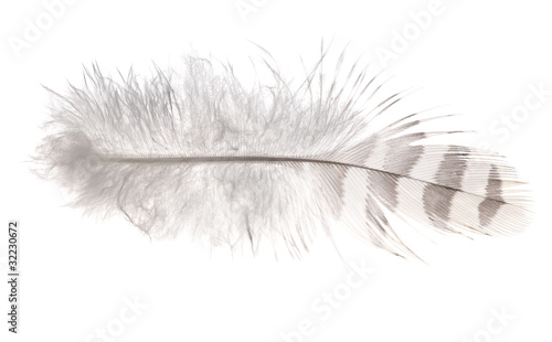 light striped feather isolated on white