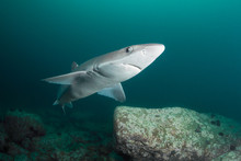 Curious Spiny Dogfish Shark